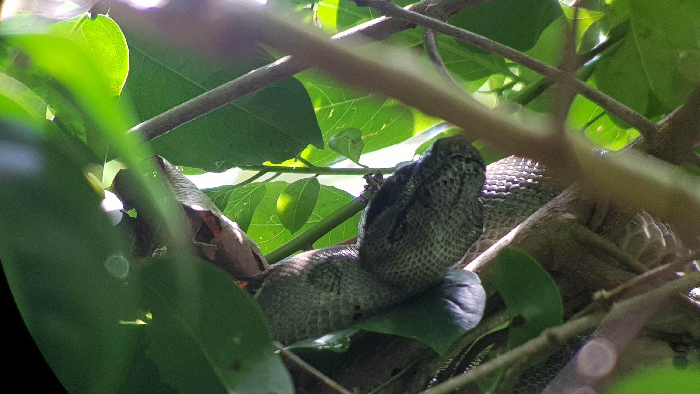 Boa Constrictor en PN Corcovado